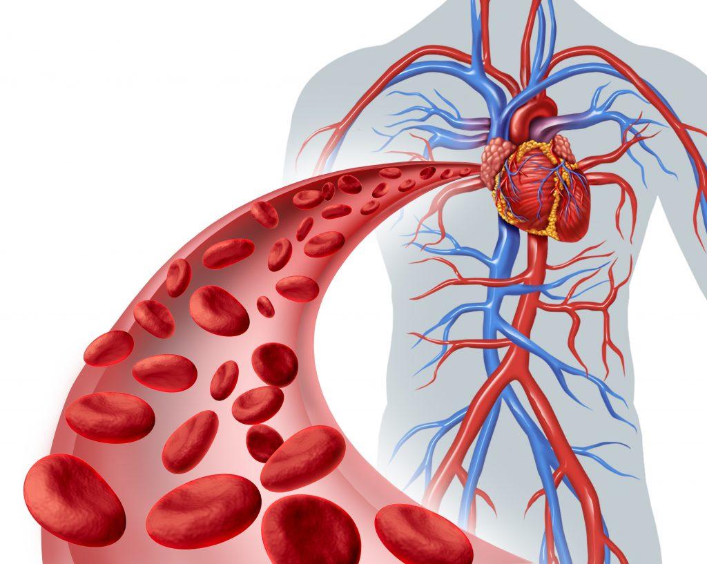 a via do fluxo sanguíneo em um sistema circulatório fechado
